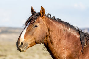 USA, Colorado, Sand Wash Basin. Profile of wild stallion