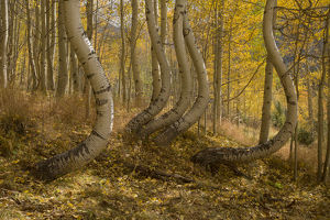 USA, Colorado, Uncompahgre National Forest. Symmetrically deformed aspen trunks. Credit as