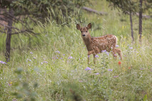 USA, Colorado, Woodland Park. Mule deer fawn in meadow