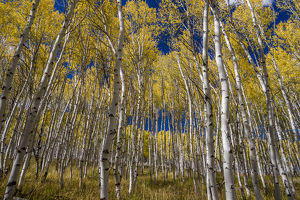 USA, Idaho, Sawtooth National Recreation Area. Scenic of quaking aspen trees. Credit as