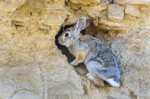 USA, Lincoln County, a cottontail rabbit climbs into it's hole in a cliff in