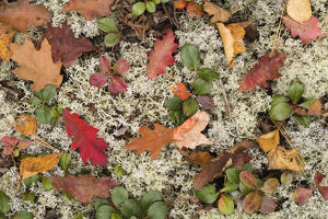 USA, Michigan, Keewenaw Peninsula. The forest floor of leaves, pine needles, lichens