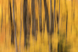 USA, Michigan. Panned abstract of trees with autumn foliage
