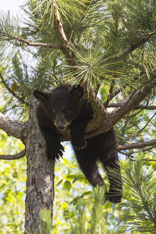 USA, Minnesota, Sandstone, Black Bear Cub Stuck in a Tree