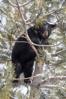 USA, Minnesota, Sandstone, Black Bear in Pine Tree
