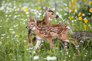 USA, Minnesota, Sandstone, Two Fawns Amidst Wildflowers