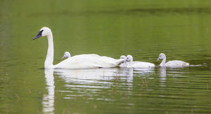 USA, Montana, Elk Lake, a Trumpeter Swan adult swims with four of it's cygnets