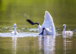 USA, Montana, Elk Lake, a Trumpeter Swan forages for food with two of her cygnets
