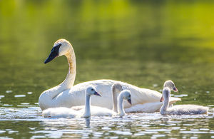 USA, Montana, Elk Lake, a Trumpeter Swan swims with five of her cygnets