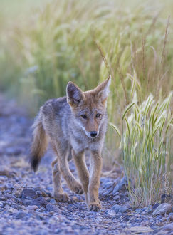 USA, Montana, Red Rock Lakes National Wildlife Refuge, a coyote pup walks along the