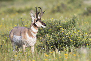 USA, Montana, Red Rock Lakes National Wildlife Refuge, Pronghorn Antelope buck standing