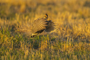 USA, Nebraska, Sand Hills. Greater prairie chicken male taking flight. Credit as