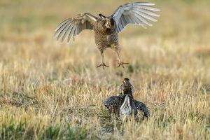 USA, Nebraska, Sand Hills. Male greater prairie chickens fighting