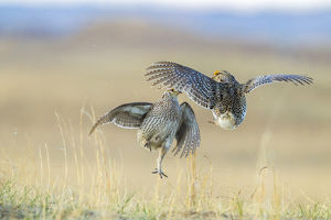 USA, Nebraska, Sand Hills. Male sharp-tailed grouse fighting