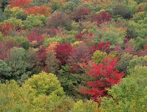 USA, New Hampshire, White Mountain National Forest, Fall colored northern hardwood