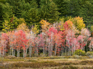 USA, New Hampshire, White Mountains, Young maples in autumn