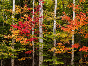 USA, New Hampshire, White Mountains, Maples and white birch along Kancamagus Highway