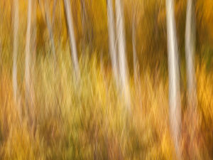 USA, New Hampshire, White Mountains, Abstract of maples and white birch in autumn