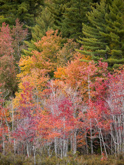 USA, New Hampshire, White Mountains, Colorful maples beside a bog