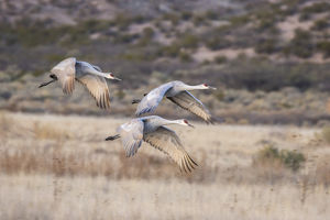 USA, New Mexico, Bosque Del Apache National Wildlife Refuge. Sandhill cranes in flight