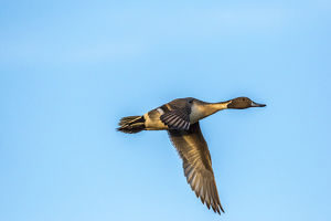 USA, New Mexico, Bosque Del Apache National Wildlife Refuge. Male pintail duck flying