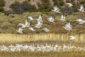 USA, New Mexico, Bosque Del Apache National Wildlife Refuge. Snow geese taking flight
