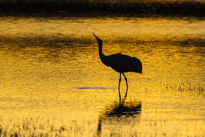 USA, New Mexico, Bosque Del Apache National Wildlife Refuge. Sandhill crane at sunset