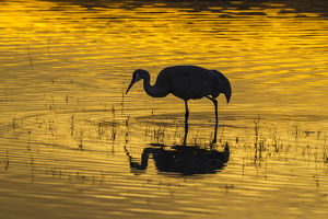 USA, New Mexico, Bosque Del Apache National Wildlife Refuge, sandhill cranes & sunset