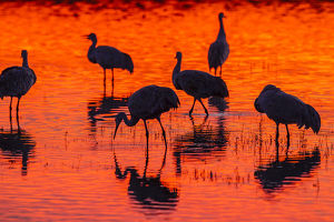 USA, New Mexico, Bosque Del Apache National Wildlife Refuge. Sandhill cranes at sunset