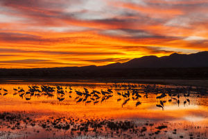 USA, New Mexico, Bosque Del Apache National Wildlife Refuge. Sandhill cranes at sunrise