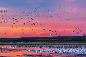 USA, New Mexico, Bosque Del Apache National Wildlife Refuge. Snow geese at sunset