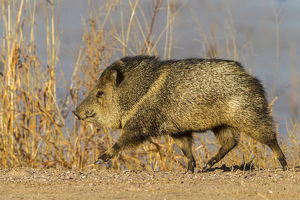 USA, New Mexico, Bosque Del Apache National Wildlife Refuge. Profile of javelina
