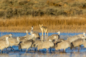 USA, New Mexico, Bosque del Apache Natural Wildlife Refuge. Coyote and sandhill cranes