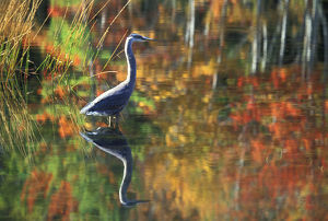 USA,New York,Adirondacks,Great Blue Heron in Fall Reflection