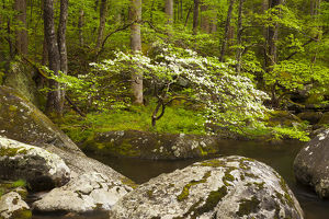 USA; North America; Tennessee; Great Smoky Mountain NP; Dogwood tree on the bank