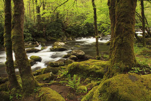 USA; North America; Tennessee; Great Smoky Mountain NP; Moss covered trees and rocks