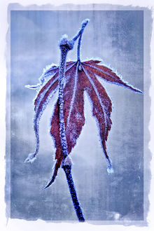 abstract/usa oregon abstract frosty maple leaf