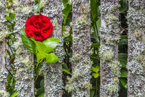 USA, Oregon, Cannon Beach, Rose in Fence
