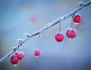 abstract/usa oregon coos bay crabapples frosty morning
