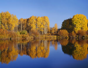 USA, Oregon, Deschutes National Forest, Autumn colored quaking aspen trees reflect