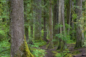 USA, Oregon, Mount Hood National Forest, Salmon-Huckleberry Wilderness, Old growth