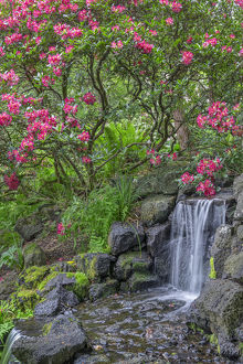 USA, Oregon, Portland, Crystal Springs Rhododendron Garden, Light red blossoms of
