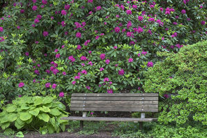 USA, Oregon, Portland, Crystal Springs Rhododendron Garden, Purple blossoms of