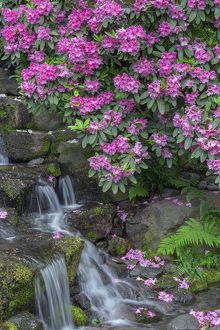 USA, Oregon, Portland, Crystal Springs Rhododendron Garden, Rhododendron blooms alongside