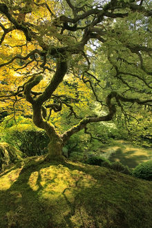 USA, Oregon, Portland. Japanese lace maple tree in Portland Japanese Garden. Credit as