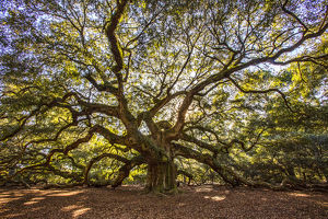 usa/south carolina/usa south carolina charleston angel oak