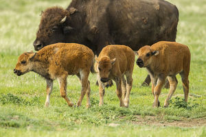 USA, South Dakota, Custer State Park. Bison calves and adult