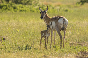 USA, South Dakota, Custer State Park. Pronghorn doe and fawn