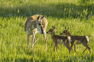 USA, South Dakota, Custer State Park. Pronghorn doe and fawns