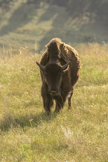 USA, South Dakota, Custer State Park. Front of adult bison